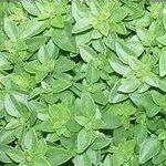 Plantas medicinales, albahaca