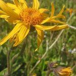 Plantas Medicinales, Arnica (Arnica Montana)