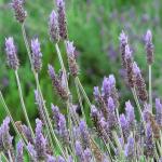 Plantas Medicinales, Espliego o lavanda