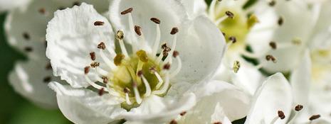 florespinoblanco