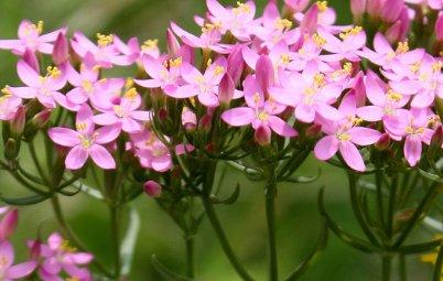 plantas medicinales, centaura menor - Bedoce – Salud Natural