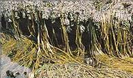 espagheti de mar